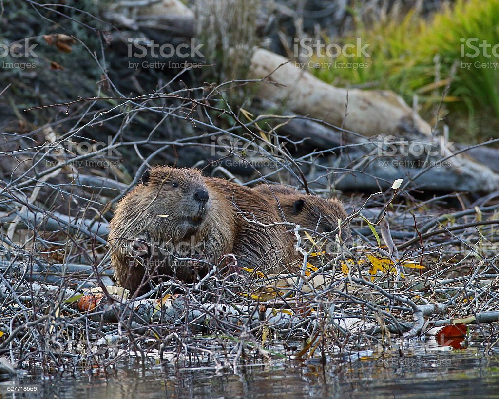 American Beaver stock photo