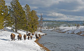 American Bison, Bison bison, walking by the Firehole River in the Winter in Yellowstone National Park, Wyoming