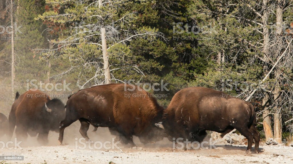 American Bison Buffalo Bull Fight Yellowstone National Park Stock ...