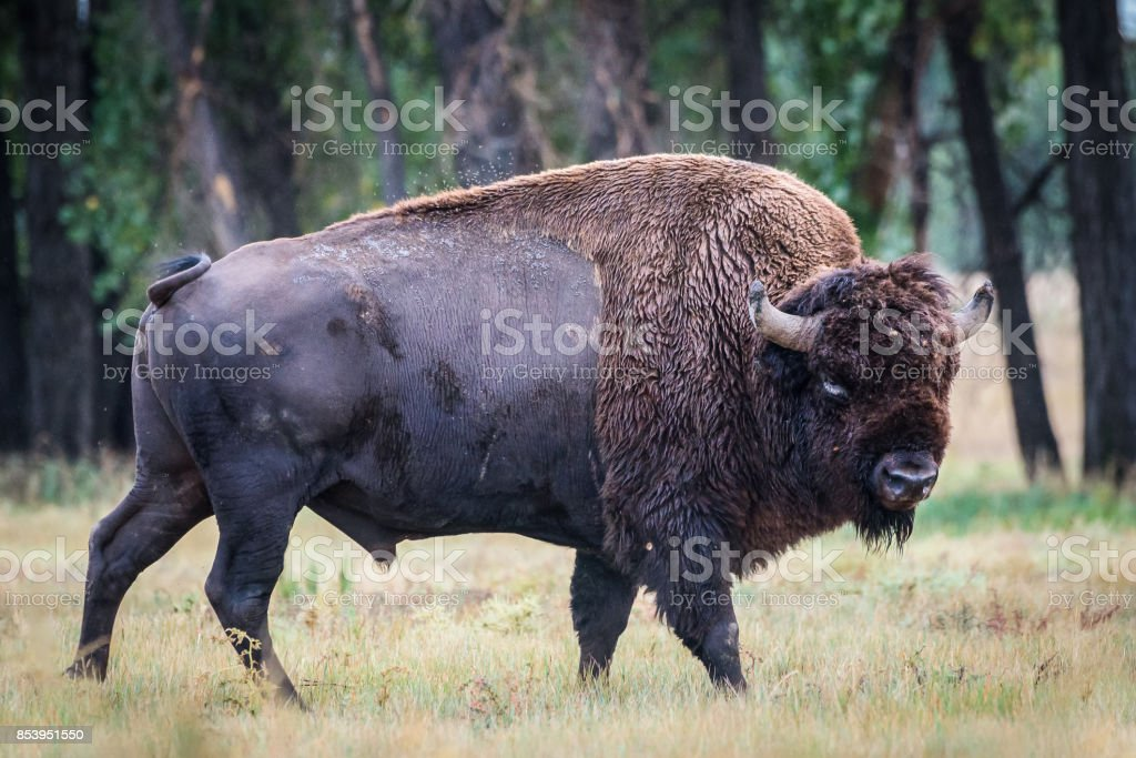 American Bison Bull - Genetically Pure Speciman stock photo