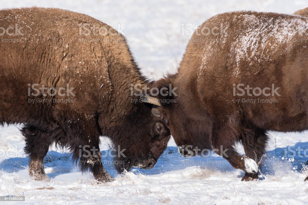 American Bison Bulls Butting Heads In The Snow Stock Photo & More ...