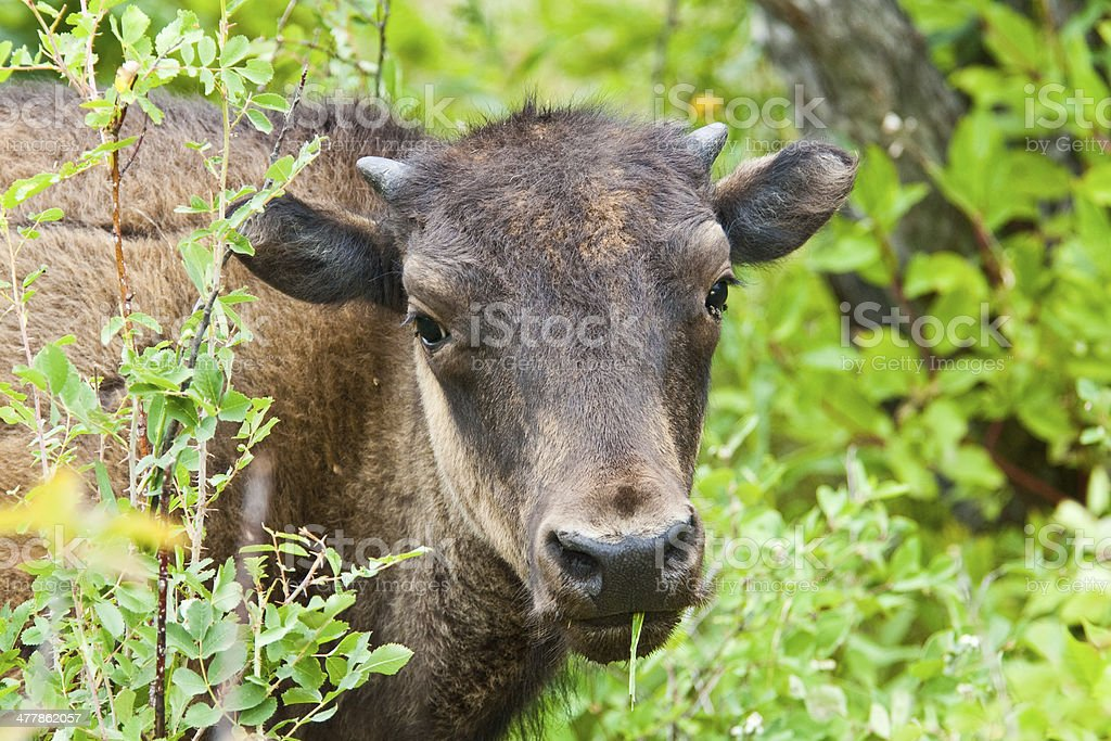 American Bison Calf royalty-free stock photo