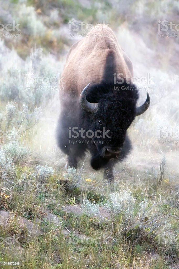 American Bison (Bison bison) Charging stock photo
