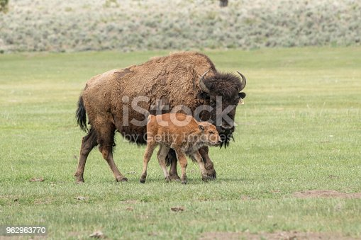American bison cow and young calf that is part of a domesticated herd on a ranch in Central Oregon