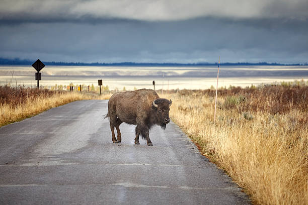 American bison crossing road in Grand Teton National Park. stock photo