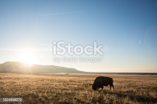 Single American Bison (Buffalo) grazing at sunset in Antelope Island State Park near Salt Lake City, Utah