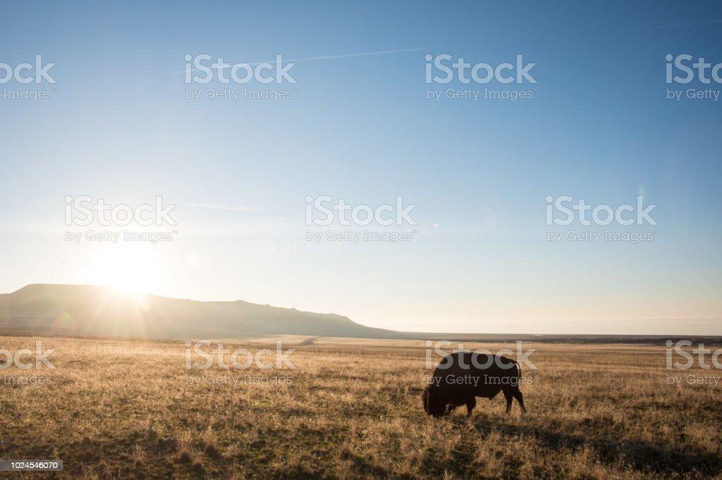 Bison d'Amérique pâturage au coucher du soleil, Utah - Photo