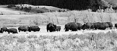 American Bison grazing on the open range in the Grand Teton National Park in the U.S. state of Wyoming
