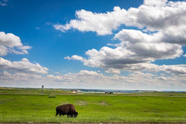 American Bison Grazing stock photo