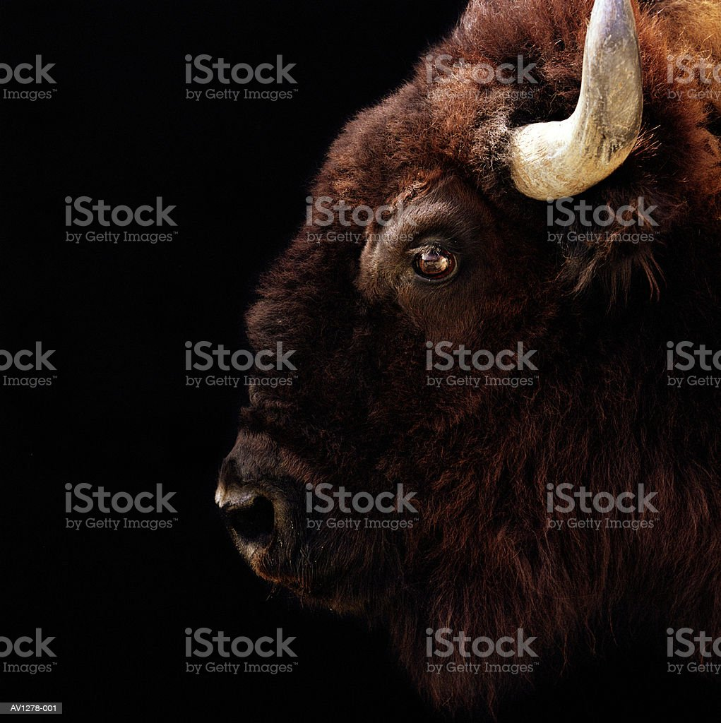 American Bison (Bison bison) head-shot stock photo
