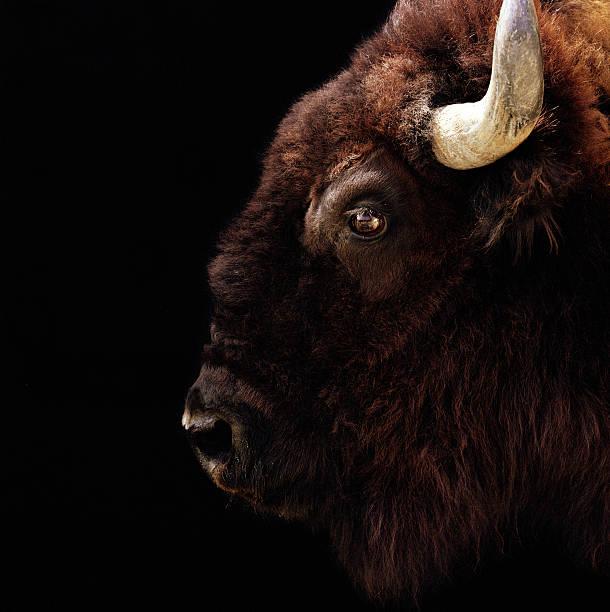 American Bison (Bison bison) head-shot bildbanksfoto