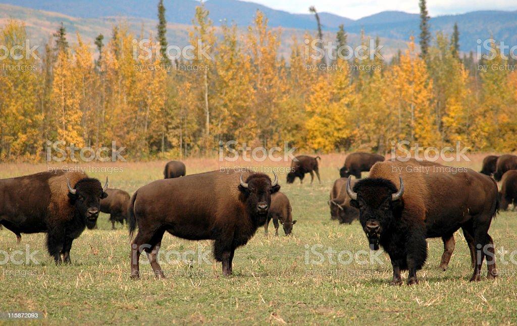 American bison herd in plains near Delta Junction,Alaska stock photo