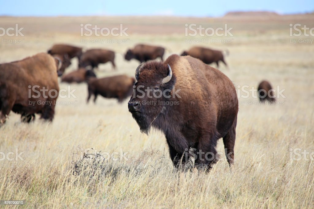 American Bison herd on the Colorado Great Plains stock photo