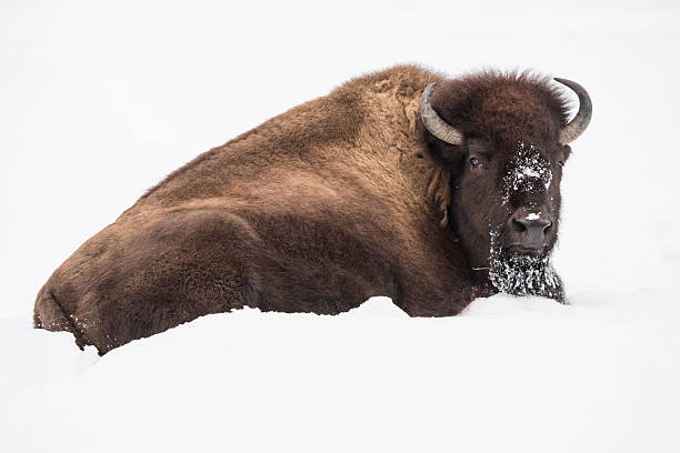 American Bison in Snow stock photo