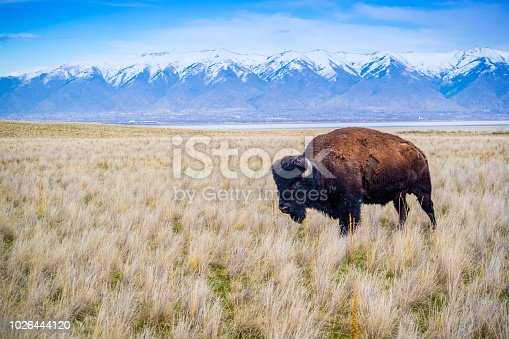 A portrait shot of American Bison in the green pasture of Great Sea lake, Antelope Island