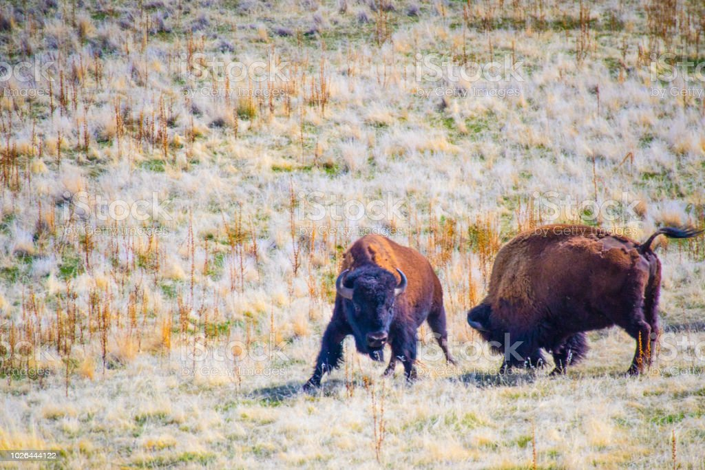 American Bison in the field of Antelope Island State Park, Utah stock photo