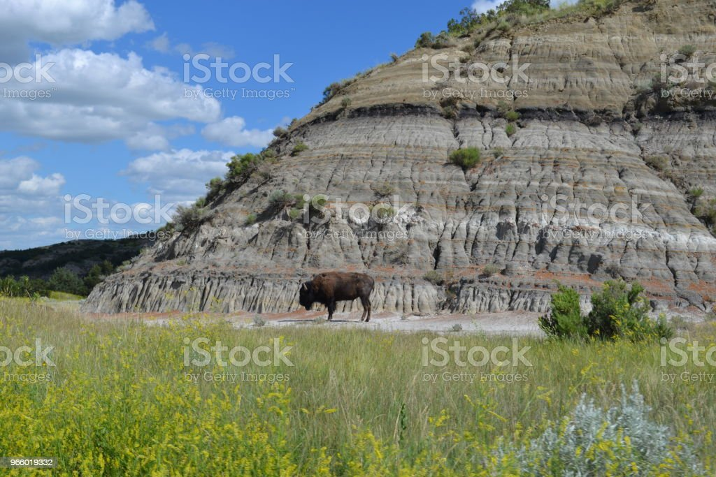 American Bison in Theodore Roosevelt National Park - Royalty-free American Bison Stock Photo
