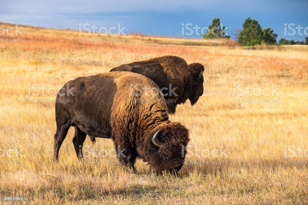 American Bison in Wind Cave National Park stock photo