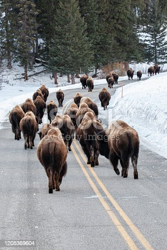 The iconic american bison in Yellowstone's Lamar Valley during the cold winter months.