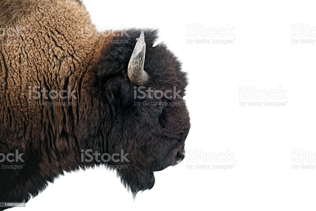 American Bison in Yellowstone National Park stock photo