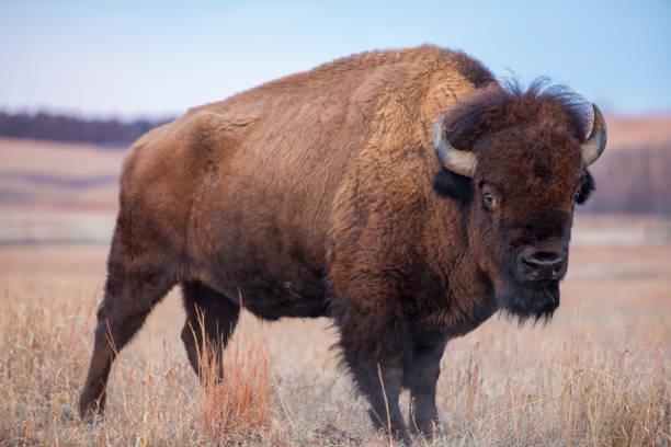 American Bison, Kansas prairie bildbanksfoto