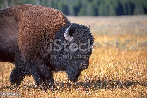 Bison bull grazing on the plains of Yellowstone National Park.  Taken in Yellowstone National Park, Wyoming.