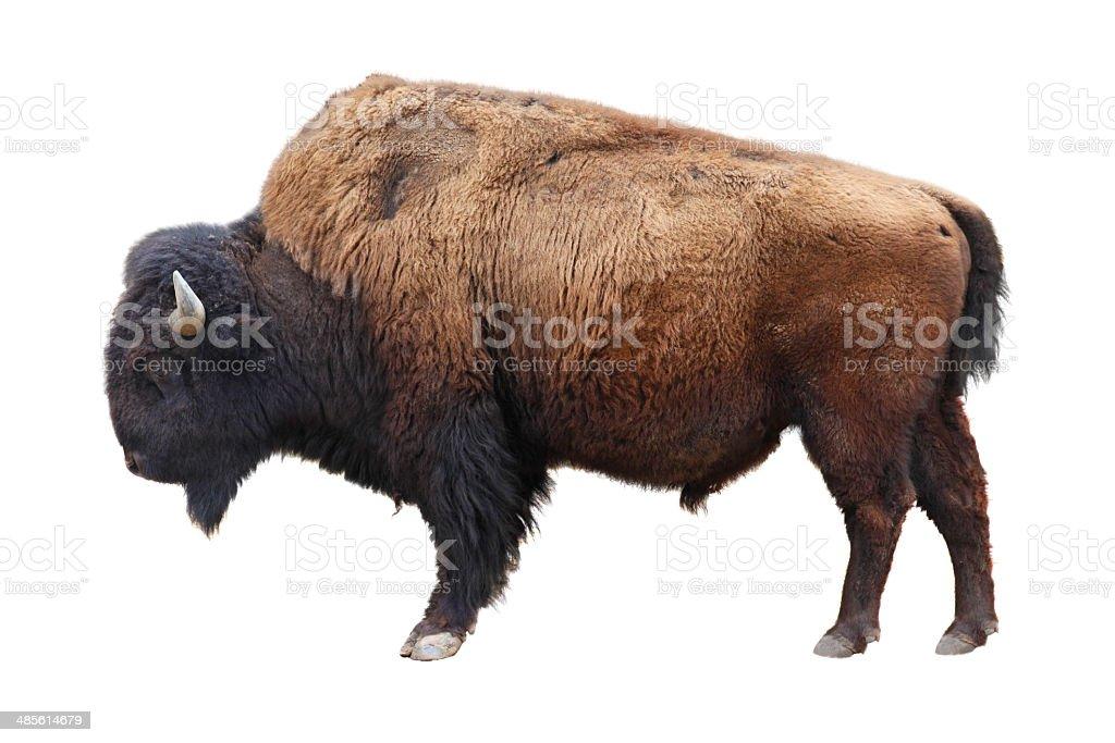 bison nord-américain - Photo