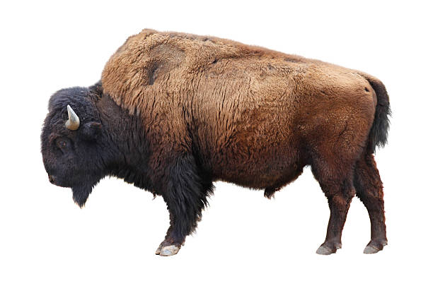 American bison bildbanksfoto