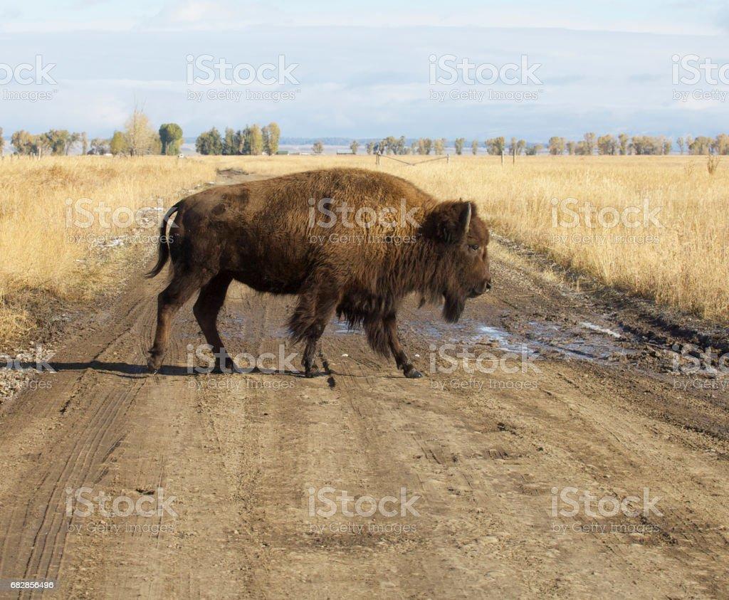 American Bison Lizenzfreies stock-foto
