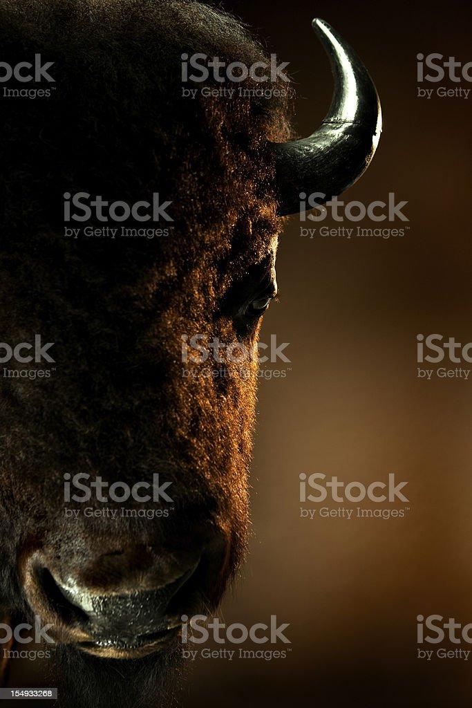 American Bison Portrait stock photo