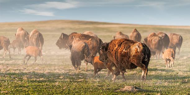 American Bison (Bison bison) Stampede stock photo
