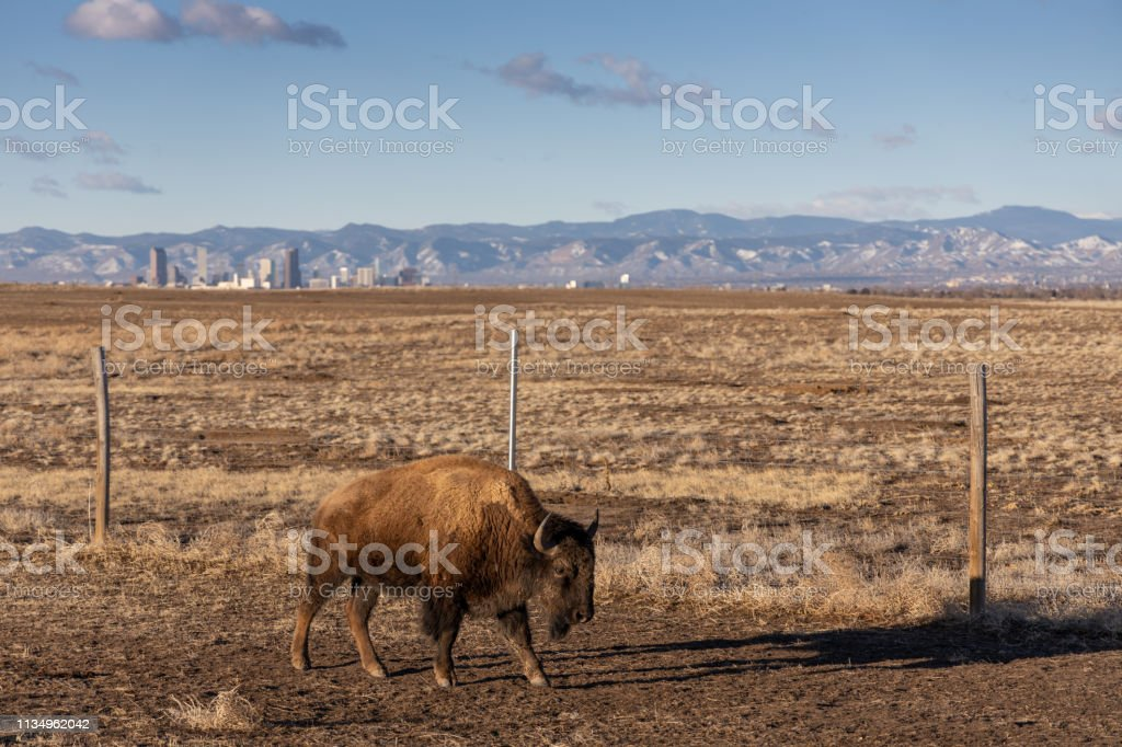 American Bison with Denver in the background. stock photo