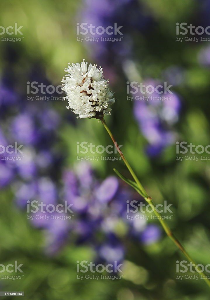American Bistort Lupine Wildflower Blossom royalty-free stock photo
