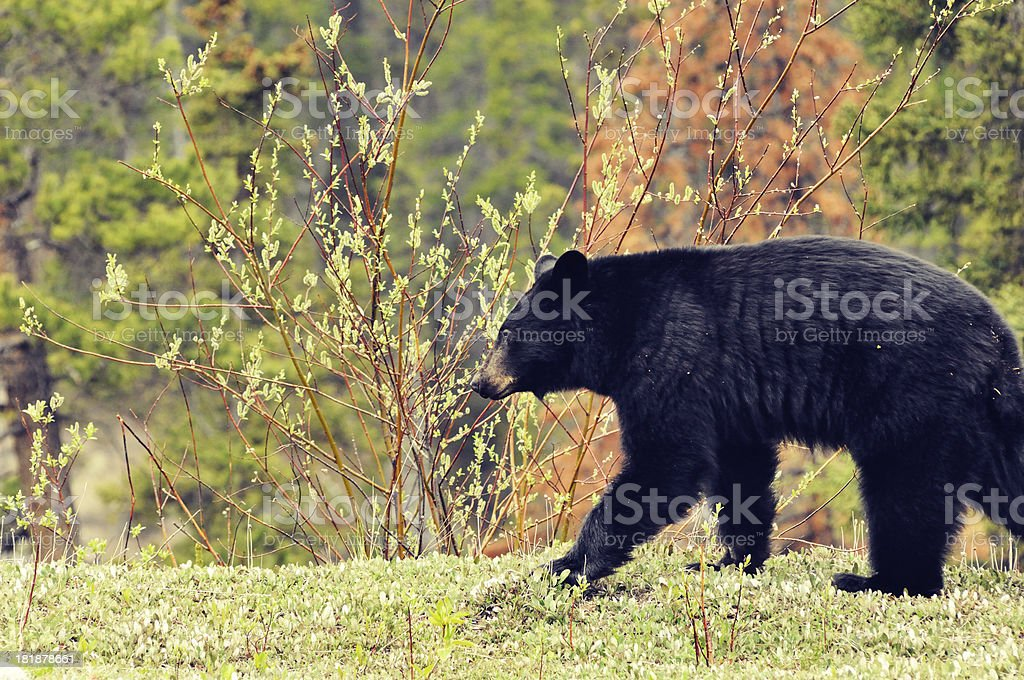 American black bear (Ursus americanus) at Banff National Park royalty-free stock photo