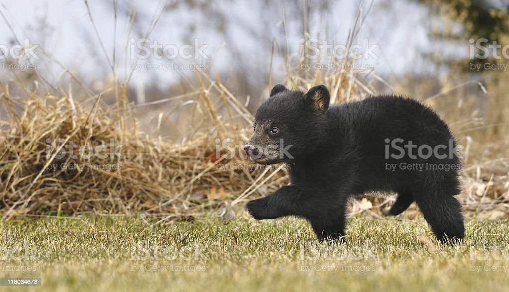American Black Bear Cub (Ursus americanus) Runs Across Grass stock photo