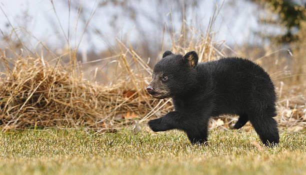 American Black Bear Cub (Ursus americanus) Runs Across Grass stock photo