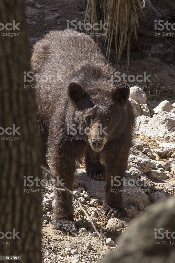 American Black Bear in Dry Streambed stock photo