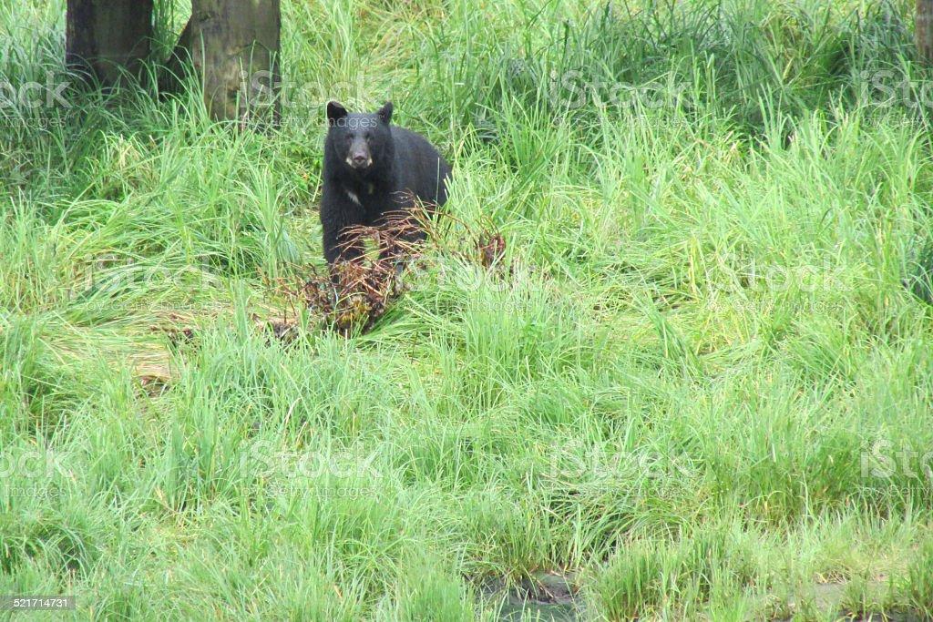 American Black Bear In Grass stock photo