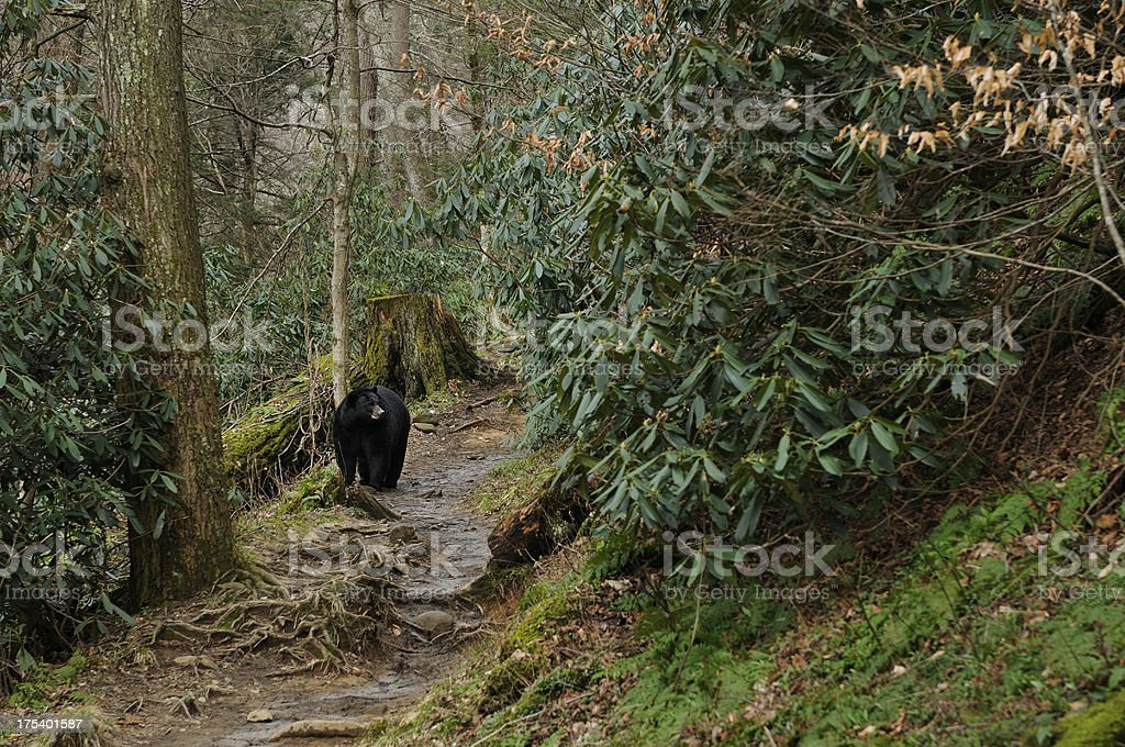 American Black Bear in Smoky Mountains National Park Tennessee stock photo