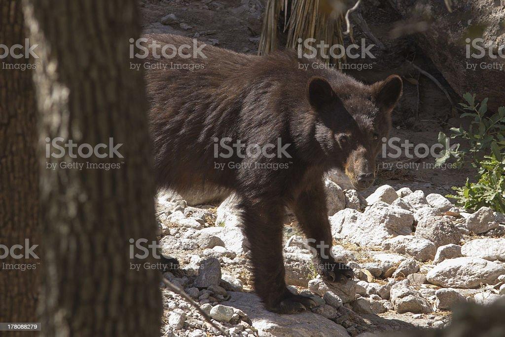 American Black Bear in Streambed stock photo