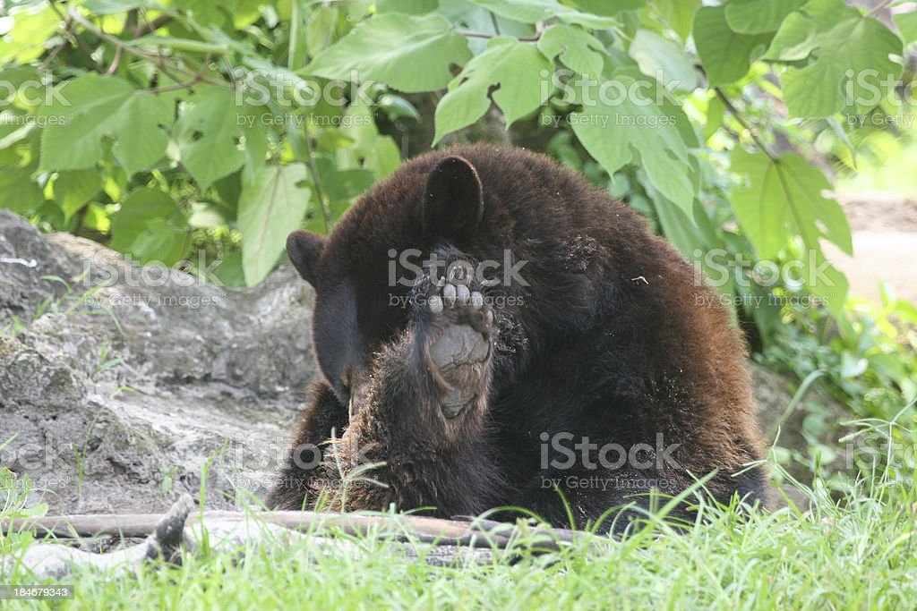 American Black Bear royalty-free stock photo