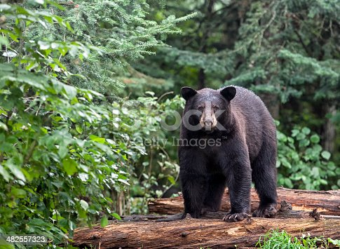 American black bear stands on logs, alert, yet cautious, looking at the camera.  Summer in northern Minnesota.