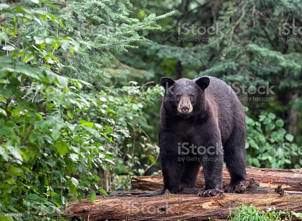 American Black Bear stock photo