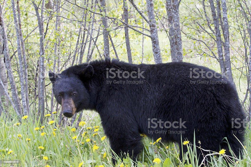 American black bear (Ursus americanus) stock photo