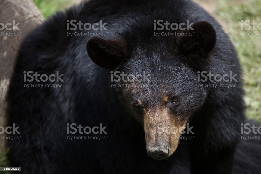 American black bear (Ursus americanus). stock photo