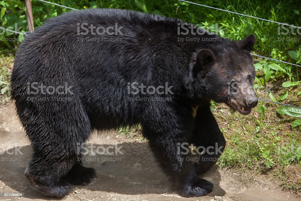 American black bear (Ursus americanus). foto stock royalty-free