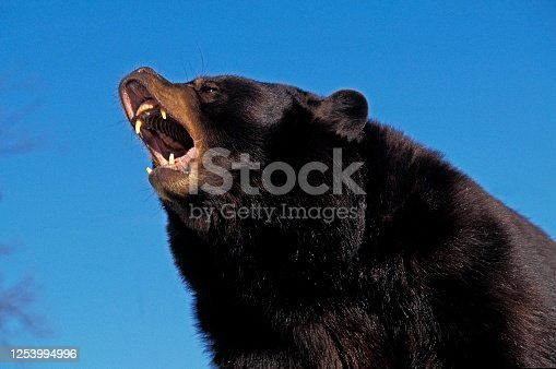 American Black Bear, ursus americanus, Adult with Open Mouth, in Defensive Posture, Canada