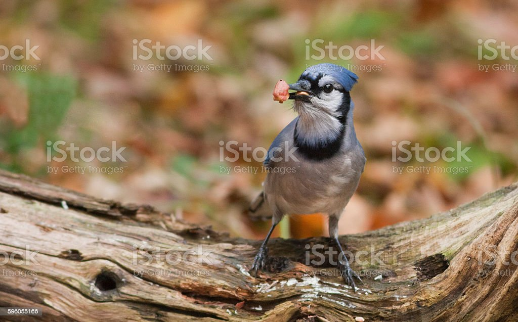 American blue jay royalty-free stock photo
