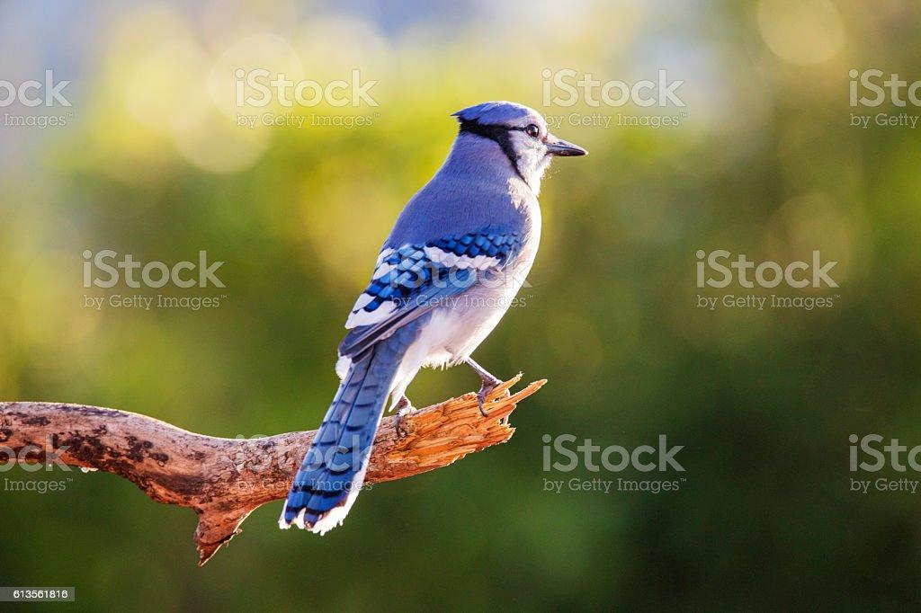American blue jay stock photo