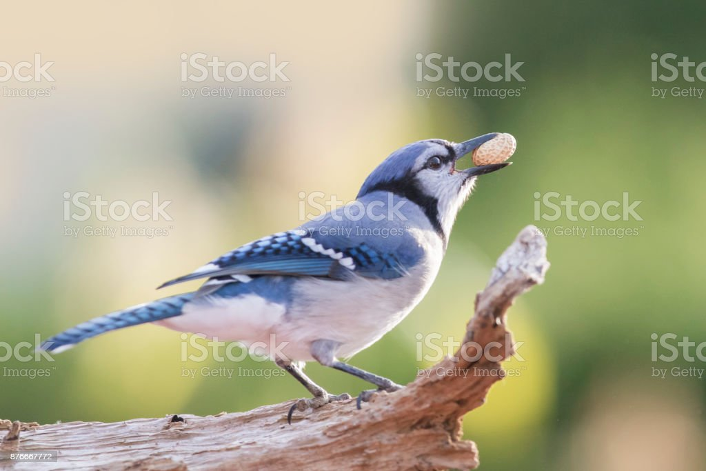 American Blue Jay Stock Photo & More Pictures of Animal   iStock